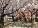 お花見2017